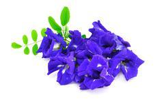 butterfly pea flower - stock photo