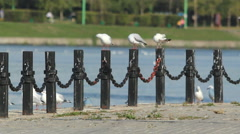 Gulls Congregate Near River Embankment Stock Footage