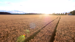 Aerial - Flight over wheat field with tractor track marks at sunset Stock Footage