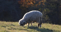UHD 4K Lamb Sheep Ovine Grazing Eat Meadow Field Green Grass Pasture Autumn Stock Footage