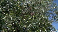 Olive tree. Stock Footage