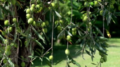 Olive young green fruit on the tree. Stock Footage