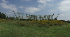 Hops being cultivated with big wooden poles Stock Footage