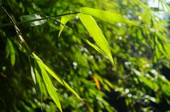 Green bamboo leaves Stock Photos