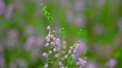 Common Heather, Calluna vulgaris during autumn in Sweden Stock Footage
