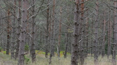 Unhealthy pine tree forest with many dying trees i Stock Footage