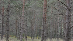 Unhealthy pine tree forest with many diying trees in Sweden Stock Footage