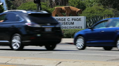 La Brea Tar Pits Museum Sign with Cars Passing, Miracle Mile Stock Footage