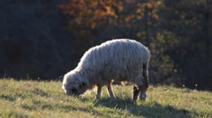 Lamb Sheep Ovine Grazing Eat Meadow Field Green Grass Mountain Pasture Autumn Stock Footage