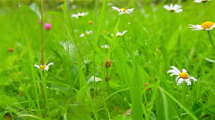 blooming daisies in green grass - stock footage