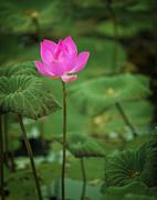 lotus flower half-blown - stock photo