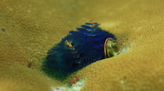 Close up on unfolding anemone. Andaman Islands, India Stock Footage