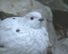 Willow Ptarmigan (lagopus lagopus) in winter plumage - medium shot. Stock Footage