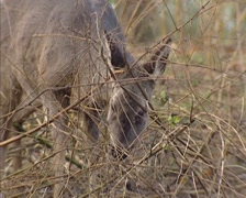 Roe Deer doe (capreolus capreolus) in grey-brown winter coat foraging on buds Stock Footage