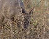 Stock Video Footage of Roe Deer doe (capreolus capreolus) in grey-brown winter coat foraging on buds