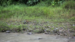 Macaque monkeys walking along the banks of the Bahorok River Stock Footage