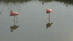 Flamingos in the morning at Isabela, Galapagos Islands, Ecuador Stock Footage