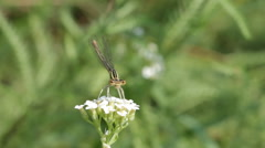 Damselfly in and out of the frame Stock Footage