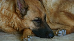 German Shepherd Sleeping On The Carpet Stock Footage