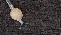 Snail slips on wood floor. Stock Footage
