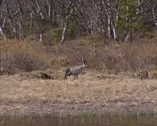 Common Crane (grus grus) stepping on marshland at forest edge in Norway Stock Footage