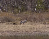 Stock Video Footage of Common Crane (grus grus) stepping on marshland at forest edge in Norway