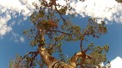 Low Angle Juniper Tree Trunk And Branches Against Sky Stock Footage
