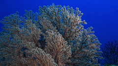 Coral in the Andaman Sea, underwater Stock Footage