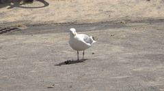 Cape cod seagull eating a crab Stock Footage