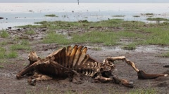 Skeleton wildebeest Stock Footage