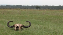 Syncerus caffer Skull On The Great Plains Stock Footage