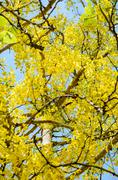 Yellow flowers on tree of purging cassia or ratchaphruek Stock Photos