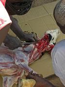 Slaughtering a goat in a ritual sacrifice. Stock Photos