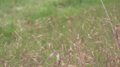 Wheatgrass Windy 1 Stock Footage