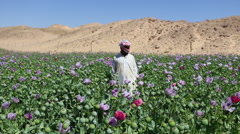 An Arab man stands in opium fields during harvest season. Stock Footage