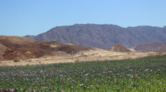 Wide shot of opium poppy fields in a Middle Eastern environment. Stock Footage