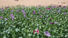 Close of opium poppies growing in a Middle Eastern country. Stock Footage