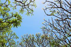 Frangipani ( plumeria ) trees are blossom Stock Photos