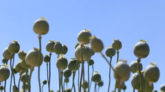 Low angle of opium poppy flowers against the sky. Stock Footage