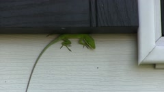 Green lizard on wall hiding under shutter Stock Footage