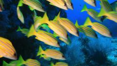 Scuba diving in the Andaman Sea, shoal of snappers, underwater Stock Footage