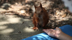 Close-up of a squirrel. Animal eats from the hands of person Stock Footage
