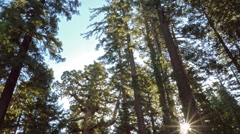 Time Lapse of Giant Sequoia Grove in Yosemite Stock Footage