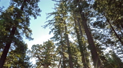 4K Time Lapse of Giant Sequoia Grove in Yosemite -Tilt Down- Stock Footage
