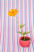 Cosmos flower stalk stick to soil in small flower pot on colorful pattern fab Stock Photos