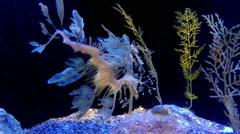 Leafy Sea Dragon Fish (dragonfish) Stock Footage