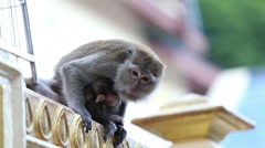 Mother with a baby monkey Stock Footage