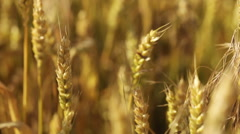 Wheatfield Stock Footage