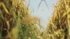 Wheat spike Stock Footage