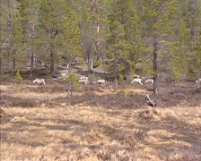 Reindeer (Rangifer tarandus) herd running in tundra Norway + zoom in Stock Footage